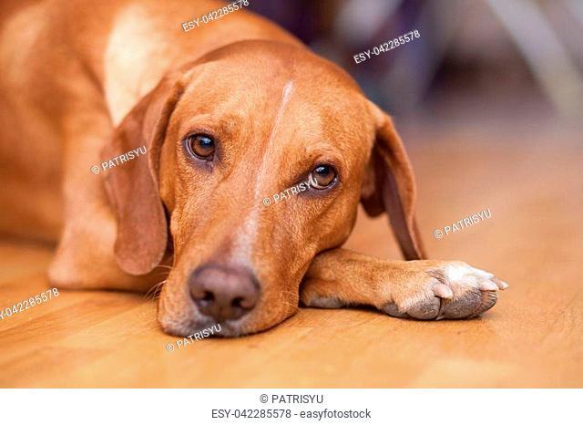 Yellow dog waiting to play