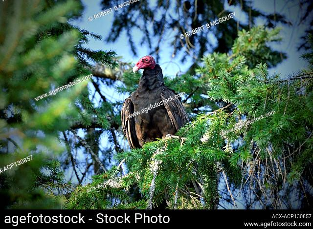 A front view of a wild Turkey Vulture, 'Cathartes aura', perched on a tree branch along the coast of Vancouver Island in British Columbia Canada