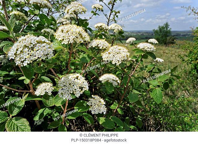 Wayfarer / wayfaring tree (Viburnum lantana) in flower