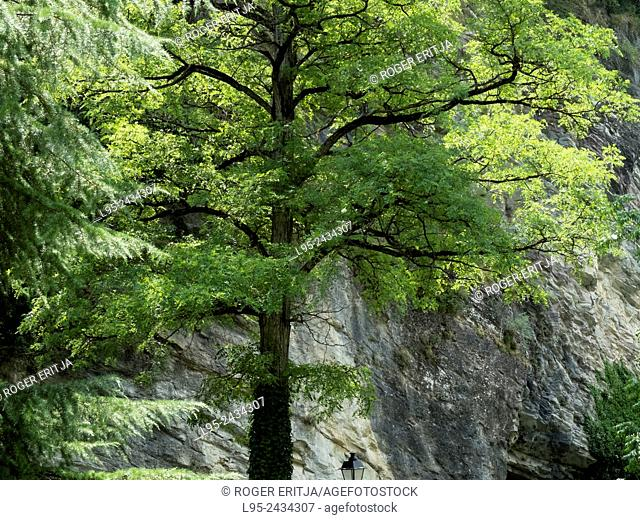 Deciduous tree growing against a rock wall in the Pyrenees, Spain