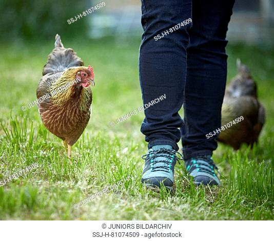 Welsummer Chicken. Pair of tame hens following person in the garden. Germany