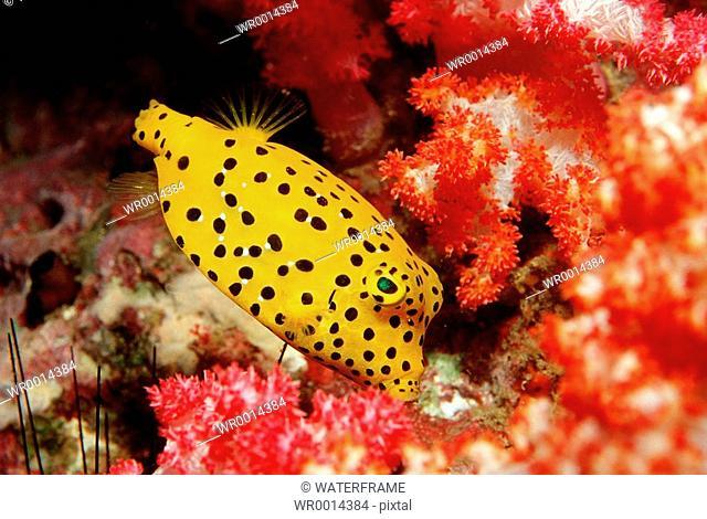Cube Trunkfish, Ostracion cubicus, Similan Islands, Thailand
