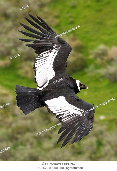 Andean Condor Vultur gryphus adult female, in flight, Patagonia, Chile, november