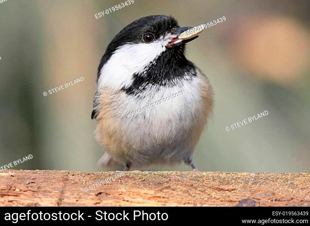 Black-capped Chickadee With A Nut