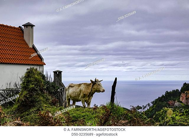 Madeira, Portugal A cow pastures near a house overlooking the Atlantic