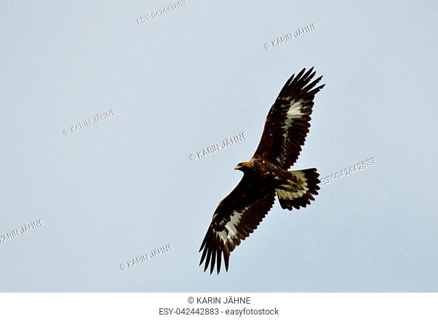 Golden eagle in flight looking for food in sweden in fall