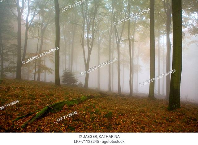 Beech forest (Fagus sylvatica) with fog, Hesse, Germany, Europe