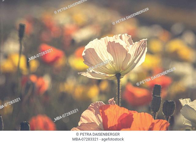 A poppy flower in the soft morning light in the gardens of Paris
