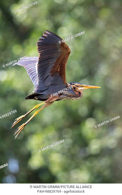 Purple Heron (Ardea purpurea) flying, Baden-Wuerttemberg, Germany | usage worldwide. - Waghäusel/Baden-Württemberg/Germany