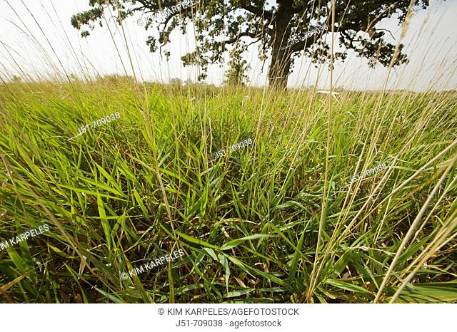 USA, Illinois: native grasses and lone oak tree at Pine Dunes forest preserve, former farm