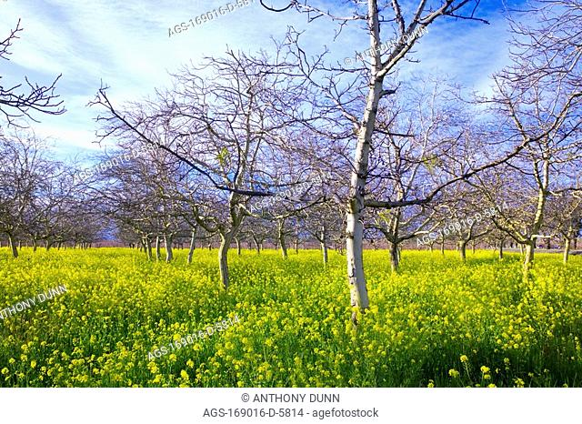 Agriculture - Dormant walnut trees in an orchard with mustard covering the orchard floor / near Yuba City, Sacramento Valley, California, USA