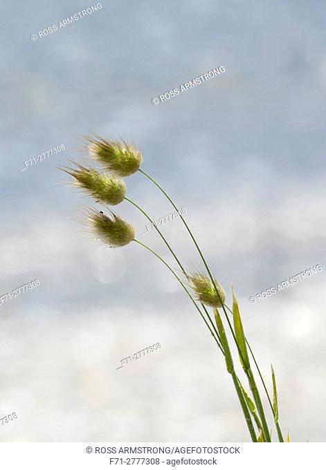 Harestail grass (Lagurus ovatus, Poaceae). Marsden Bay, One Tree Point, Northland, New Zealand