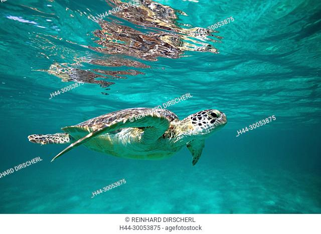 Green Sea Turtle, Chelonia mydas, Akumal, Tulum, Mexico