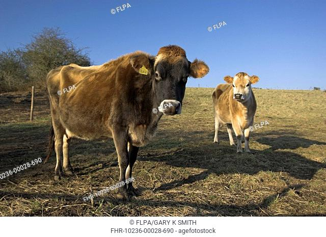 Jersey Cattle, cow with calf on grazing meadow, Norfolk, England, january