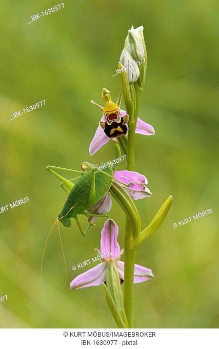Male of Krauss's Bush-cricket (Isophya kraussi) on the flowers of a Bee Orchid (Ophrys apifera)