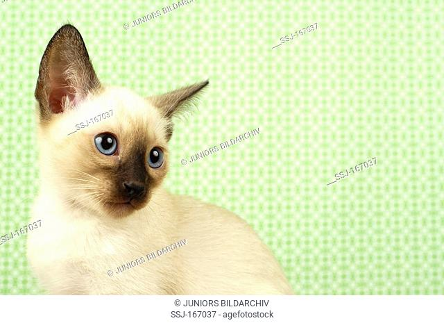 Siamese Cat. Portrait of juvenile in front of green-patterned wallpaper
