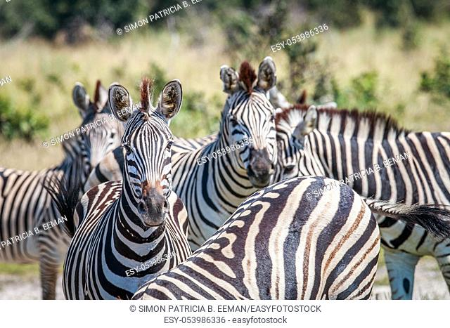 Group of Zebras starring at the camera in the Chobe National Park, Botswana