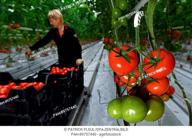 Gardener Heidemarie Schlabe harvests tomatoes in a greenhouse of the company Fontana Gartenbau GmbH in Manschnow, Germany, 07 April 2017
