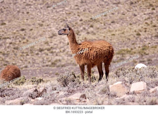 Llama near Arequipa, Peru, South America