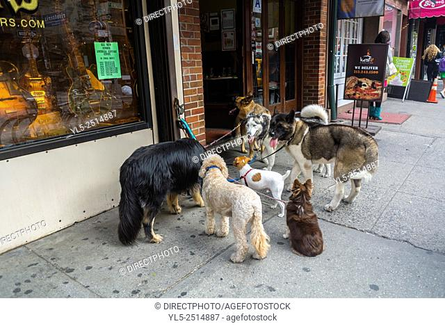 New York City, USA, Group Dogs on Leashes, Being Walked by Walker, Waiting Outside Store, Bleecker Street, Shopping Street Scenes, Greenwich Village, Summer