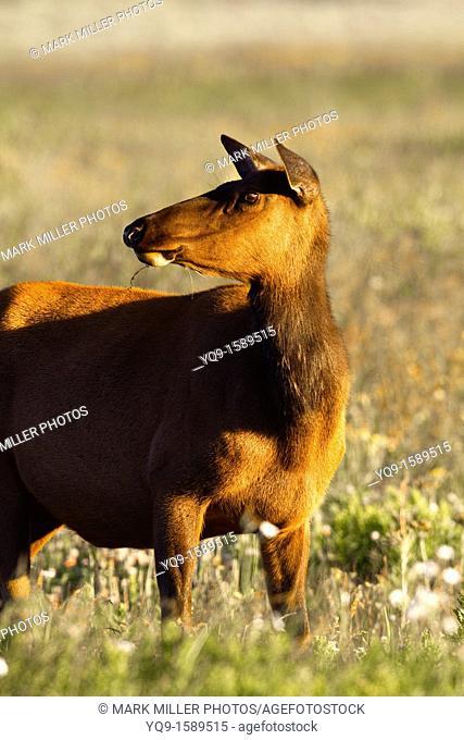 Elk Cow in Morning Light