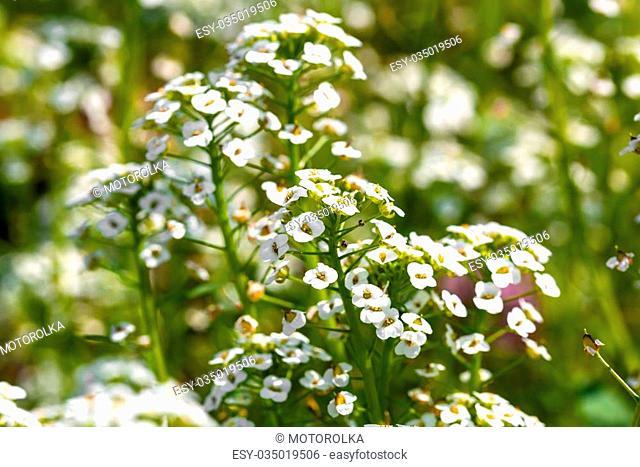 white flowers Sweet Alyssum (Lobularia maritima) in garden