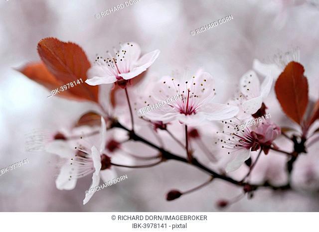 Blossom of the cherry plum (Prunus cerasifera), North Rhine-Westphalia, Germany