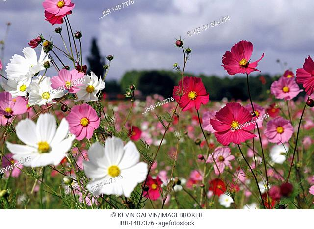 Colorful Cosmos flowers in field, Gironde, Aquitaine France, Europe