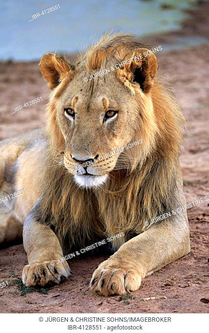 Lion (Panthera leo), male, five years, Tswalu Game Reserve, Kalahari Desert, North Cape, South Africa