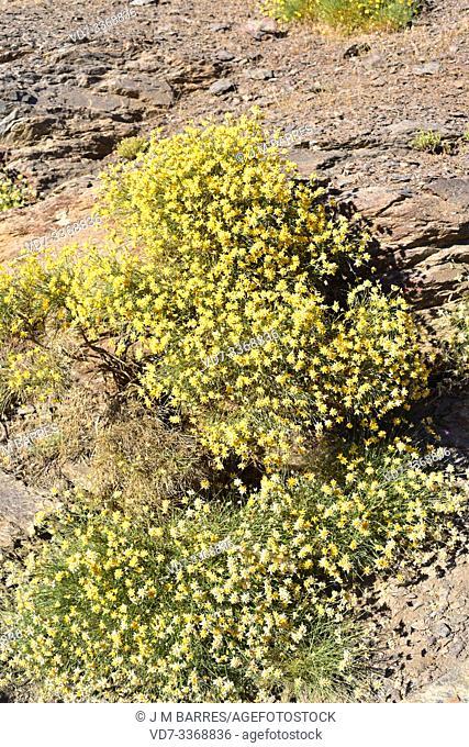 Bolina (Genista umbellata) is a shrub native to Spain, Morocco and Algeria. This photo was taken in Las Alpujarras, Sierra Nevada National Park