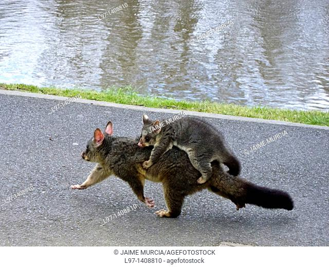 Australian ring tail possum with baby on her back
