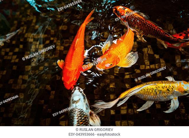 Swimming of carp or Koi fish in the pool