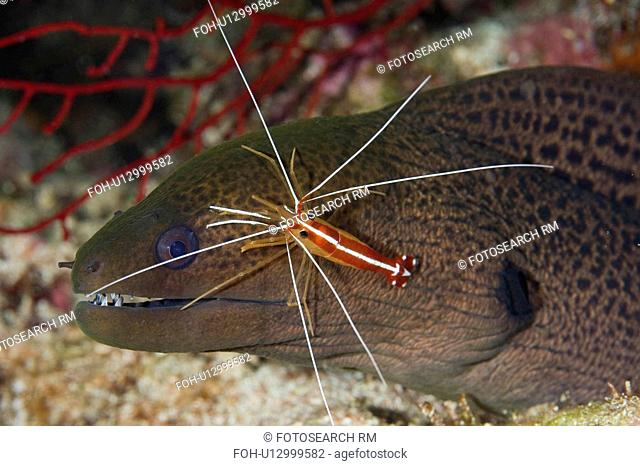 water giant moray eel cleaned cleaner shrimp