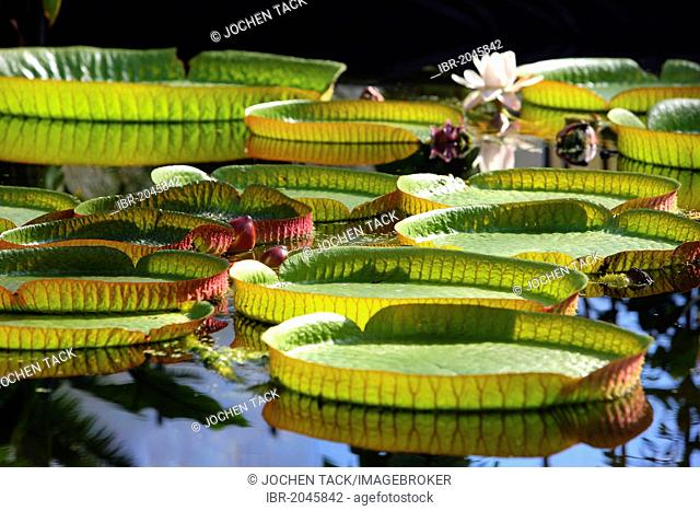 Giant Water Lily (Victoria), lily pond, public Botanical Garden of the Ruhr-University Bochum, North Rhine-Westphalia, Germany, Europe, PublicGround