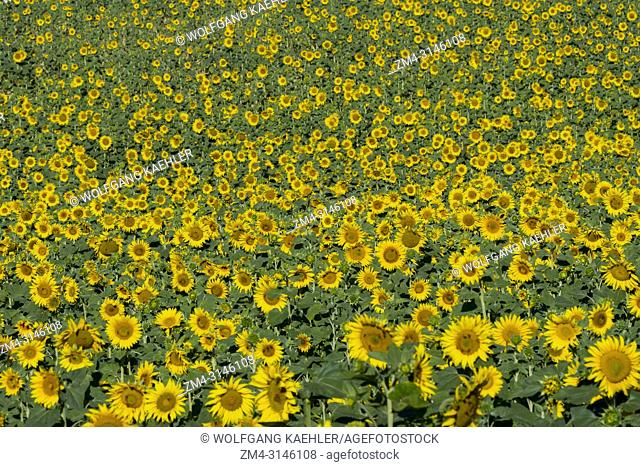 A sunflower field on the Valensole plateau near Digne-les-Bains and the Verdon gorges in the Alpes-de-Haute-Provence region in southern France