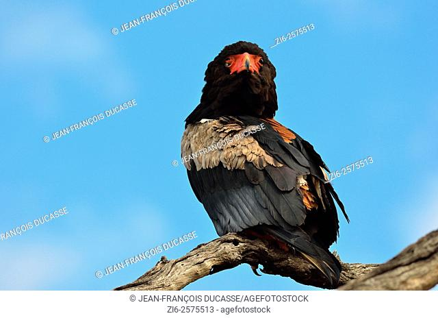 Bateleur eagle (Terathopius ecaudatus), perched on dead tree, looking back, Kruger National Park, South Africa, Africa