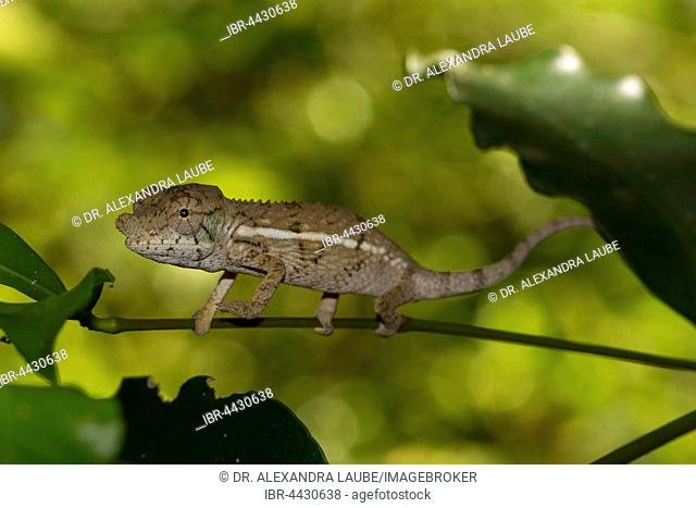 Rhinoceros chameleon (Furcifer rhinoceratus), juvenile, male, rare, Ankarafantsika National Park, Western Madagascar, Madagascar