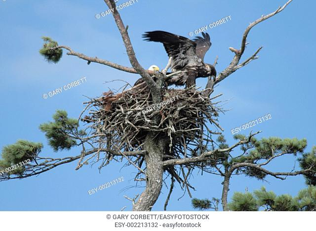 an eagle's nest with an adult and a fledgling testing it's wings