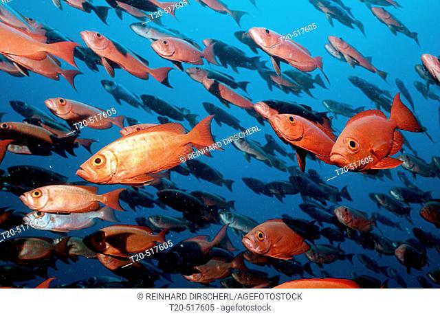 Schooling Crescent-tail bigeyes, Priacanthus hamrur, Maldives Islands, Indian ocean, Ari Atol, Atoll