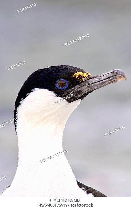 Blue-eyed shag or cormorant Petermann Island Antarctica