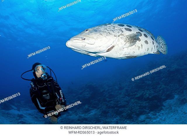 Scuba Diver and Potato Cod, Epinephelus tukula, Cod Hole, Great Barrier Reef, Australia