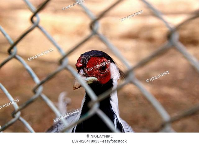 Close up detailed view of rooster and chicken living in a cage
