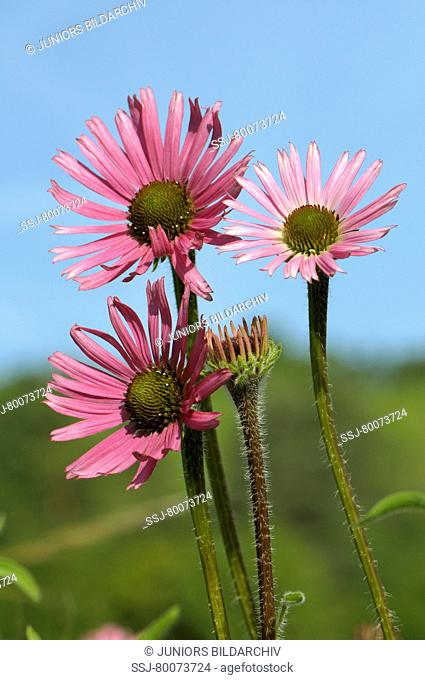 DEU, 2008: Tennessee Coneflower (Echinacea tennesseensis), flowering