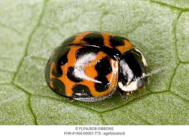 Harlequin Ladybird Harmonia axyridis adult, introduced invasive pest species, England