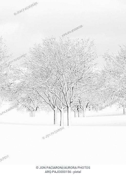 Urban deciduous tree grove covered in snow during a blizzard in Denver, Colorado