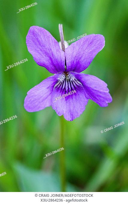 Common Dog Violet (Viola riviniana) flower. Barton Wood, Exmoor National Park, Somerset, England