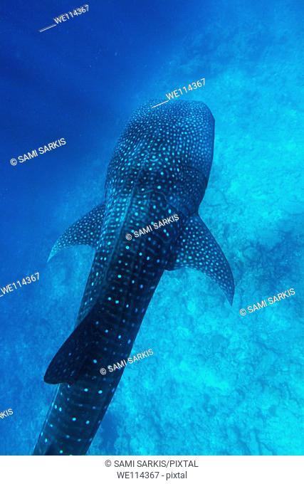 Maldives ari atoll above a whale shark rhincodon typus
