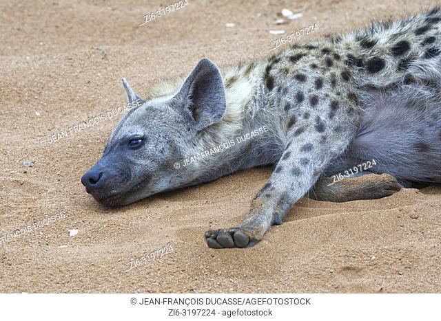 Spotted hyena (Crocuta crocuta), adult male lying on sand, half asleep, early in the morning, Kruger National Park, South Africa, Africa