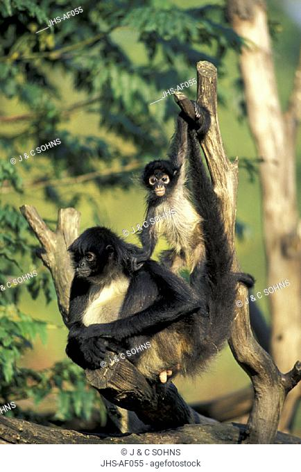 Spider Monkey , Primate , Primates , Ateles geoffroyi , South America , Adult female with young on tree