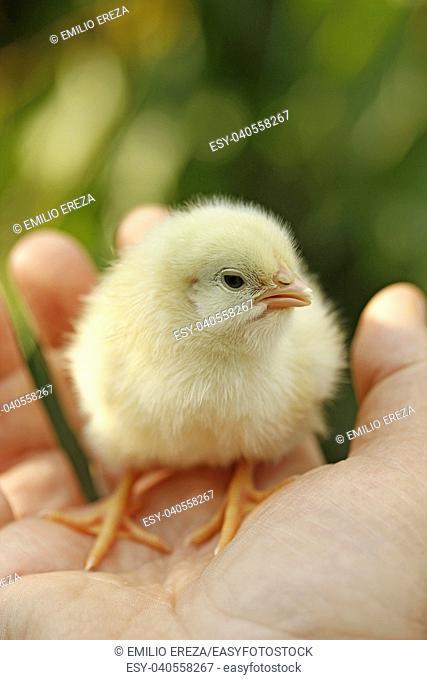 Chick on hand